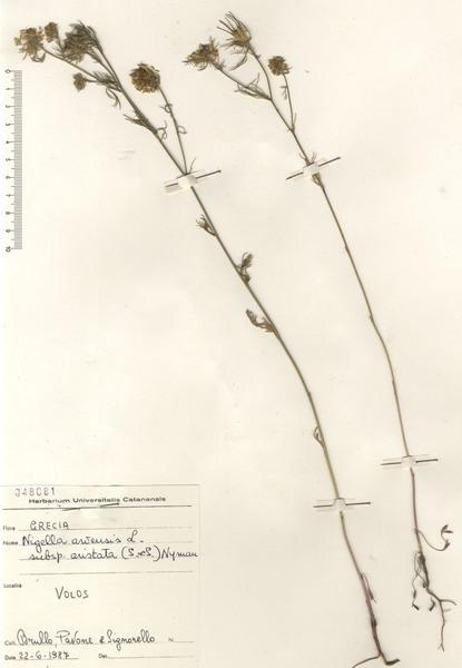 Nigella arvensis L. subsp. arvensis