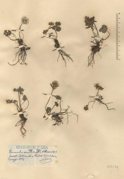 Ranunculus villarsii DC.