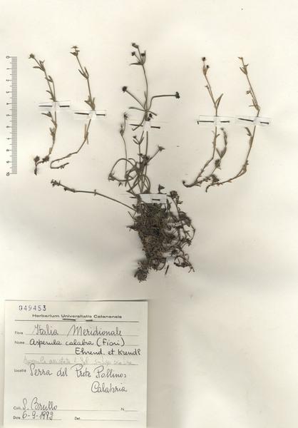 Asperula aristata L.f. subsp. calabra (Fiori) Del Guacchio & P.Caputo