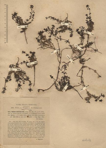 Galium aetnicum Biv.