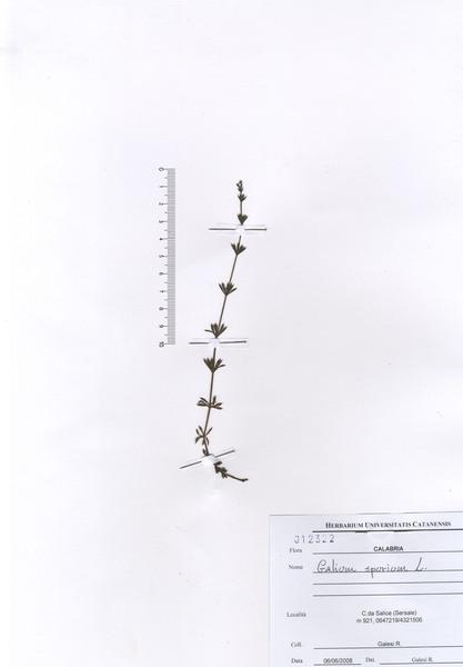 Galium spurium L.