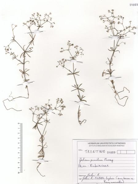 Galium pumilum Murray