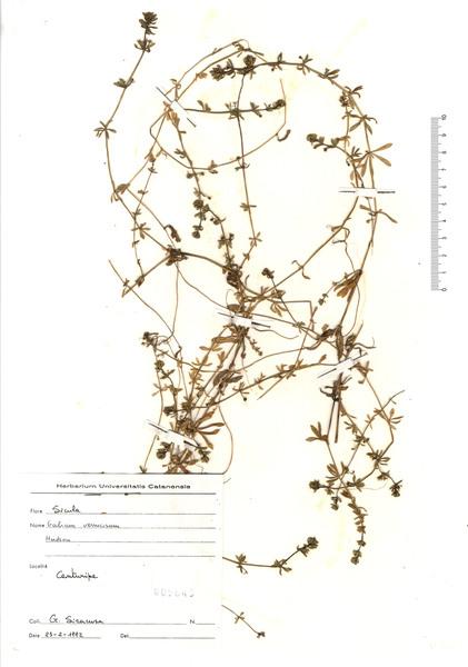 Galium verrucosum Huds. subsp. verrucosum