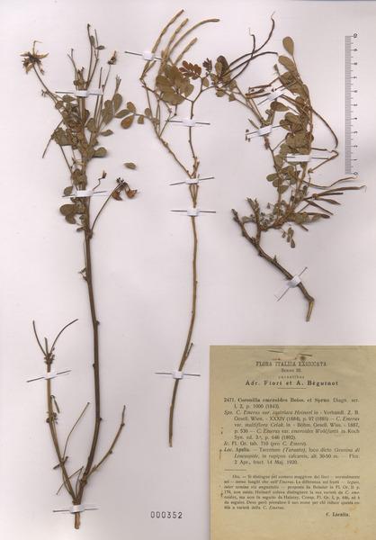 Emerus major Mill. subsp. emeroides (Boiss. & Spruner) Soldano & F.Conti