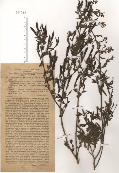 Genista januensis Viv. subsp. januensis
