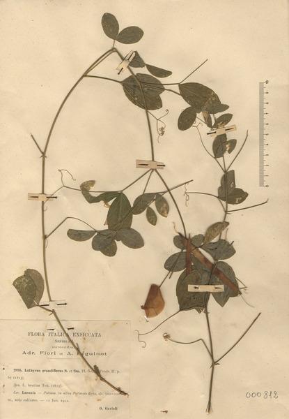 Lathyrus grandiflorus Sm.