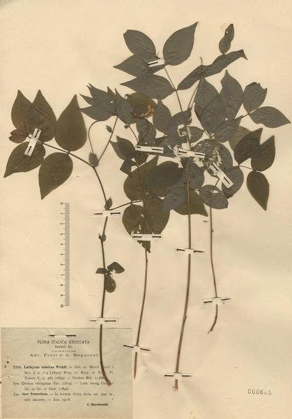 Lathyrus venetus (Mill.) Wohlf.