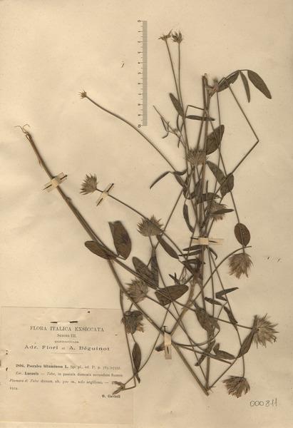 Bituminaria bituminosa (L.) C.H.Stirt.
