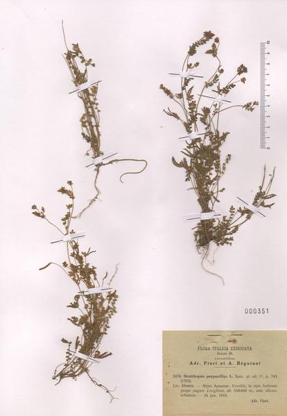 Ornithopus perpusillus L.