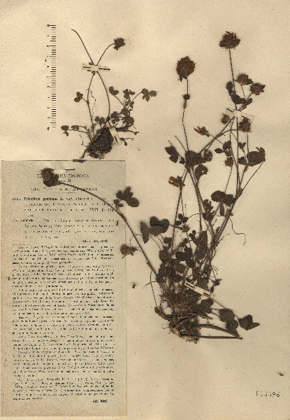 Trifolium pratense L. subsp. semipurpureum (Strobl) Pignatti