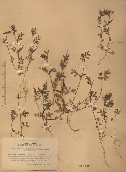 Vicia lathyroides L.