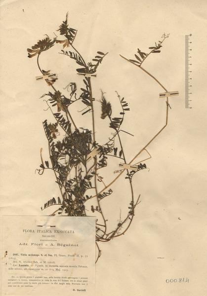 Vicia melanops Sm.