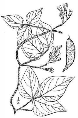 Amphicarpaea comosa (L.) G.Don ex Loudon