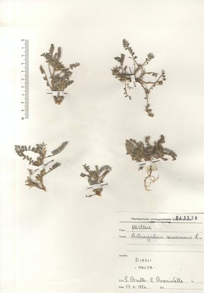 Astragalus sesameus L.