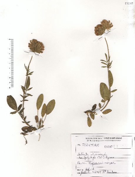 Anthyllis vulneraria L. subsp. polyphylla (DC.) Nyman