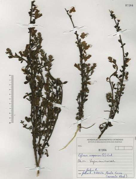 Cytisus scoparius (L.) Link subsp. scoparius