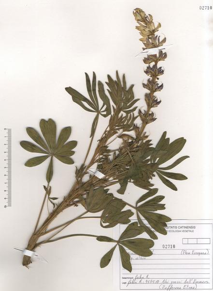 Lupinus albus L. subsp. albus