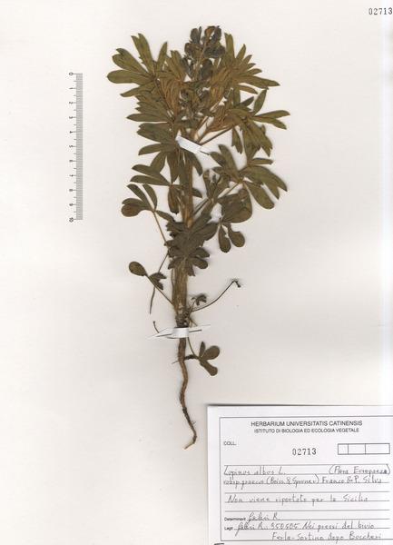 Lupinus albus L. subsp. graecus (Boiss. & Spruner) Franco & P.Silva