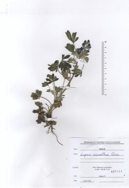 Lupinus gussoneanus J.Agardh