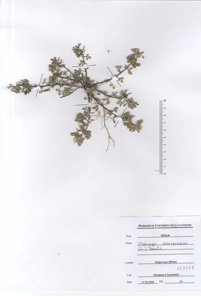 Medicago monspeliaca (L.) Trautv.