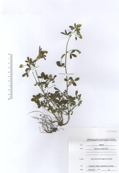 Trigonella sulcata (Desf.) Coulot & Rabaute