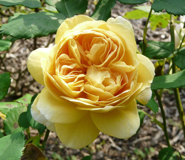 Rosa 'Golden Celebration ™'