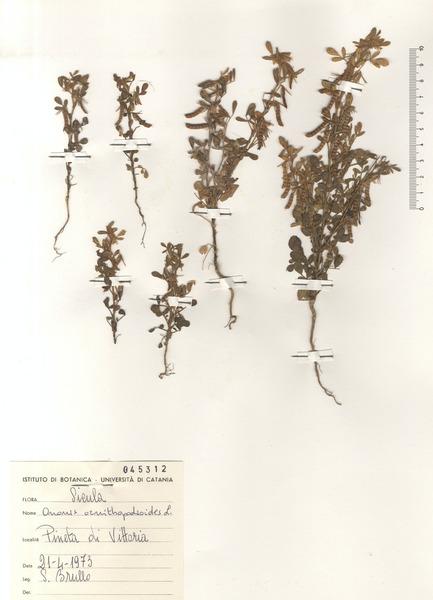 Ononis ornithopodioides L.