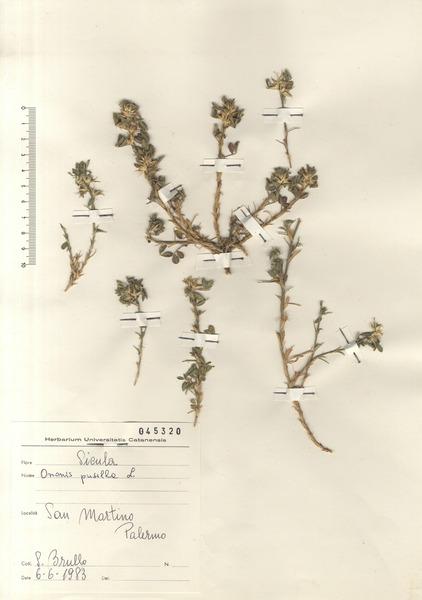 Ononis pusilla L. subsp. pusilla