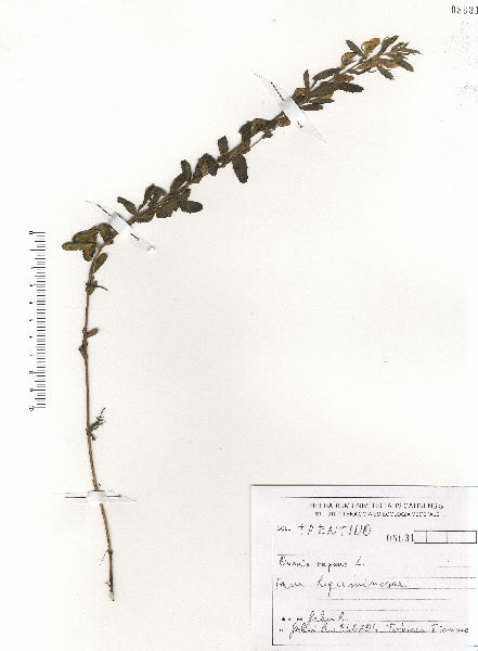 Ononis spinosa L. subsp. procurrens (Wallr.) Briq.