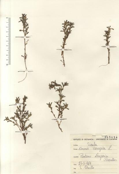 Ononis variegata L.