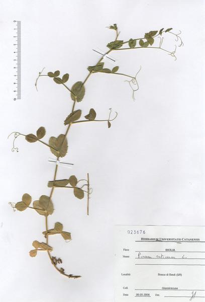 Lathyrus oleraceus Lam. subsp. oleraceus