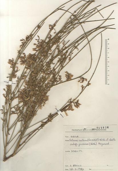 Retama raetam (Forssk.) Webb & Berthel. subsp. gussonei (Webb) Greuter