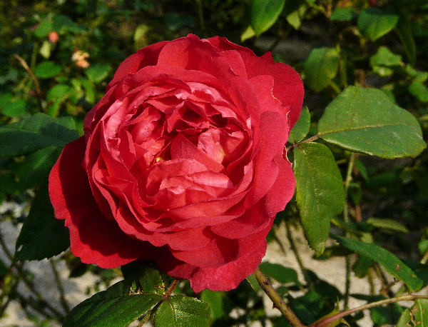 Rosa 'Benjamin Britten'
