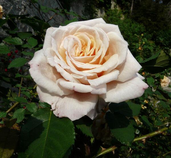 Rosa 'Caramella ™'