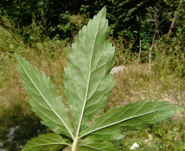 Eupatorium cannabinum L. subsp. cannabinum