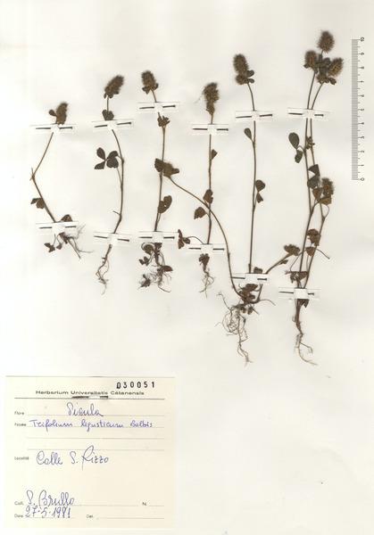 Trifolium leucanthum M.Bieb.