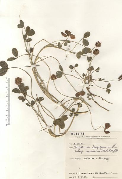Trifolium fragiferum L. subsp. bonannii (C. Presl) Soják