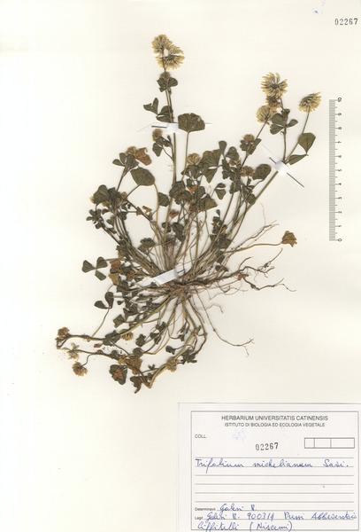 Trifolium michelianum Savi