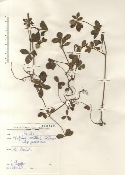 Trifolium mutabile Port.
