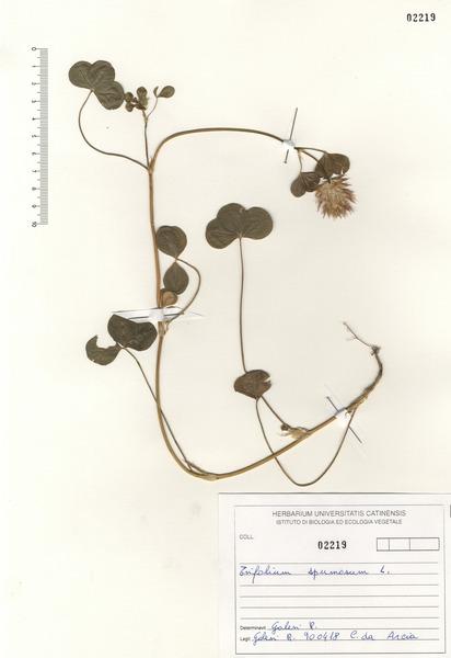 Trifolium spumosum L.