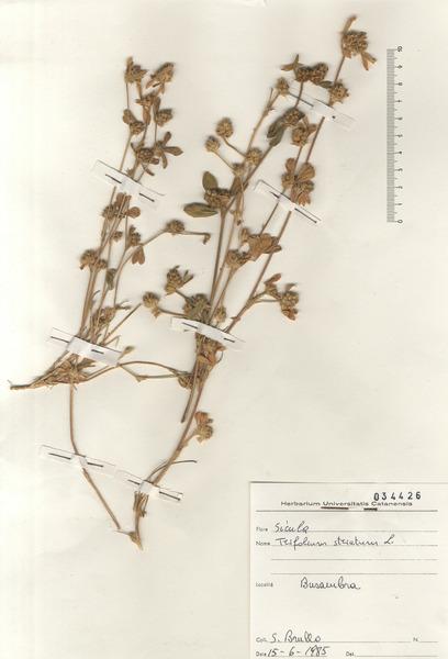 Trifolium striatum L. subsp. striatum