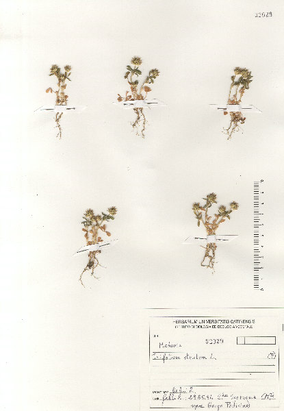 Trifolium strictum L.