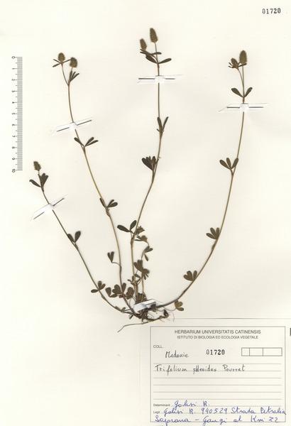 Trifolium phleoides Willd.