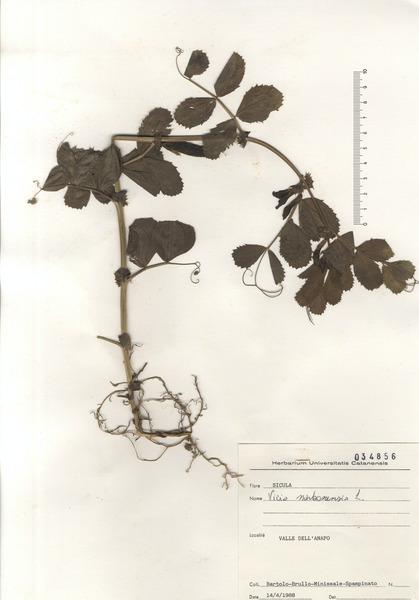 Vicia narbonensis L.