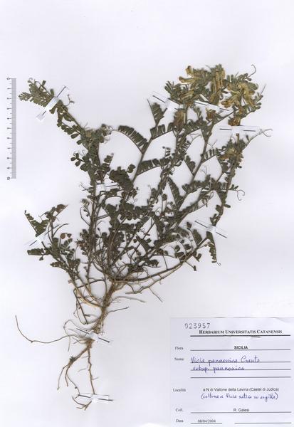 Vicia pannonica Crantz subsp. pannonica