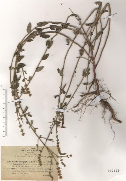 Mentha microphylla K.Koch