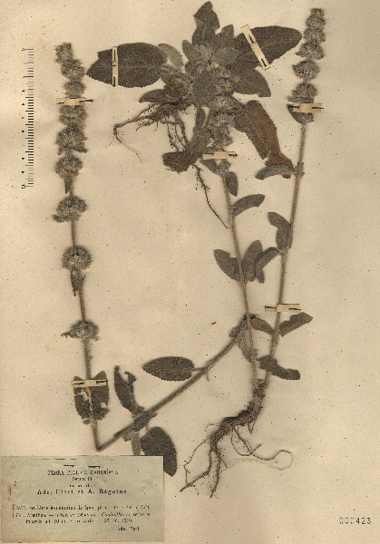 Stachys germanica L. subsp. germanica