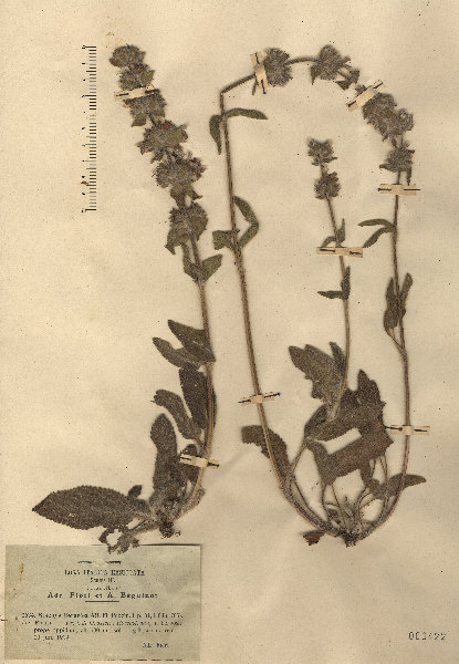 Stachys heraclea All.