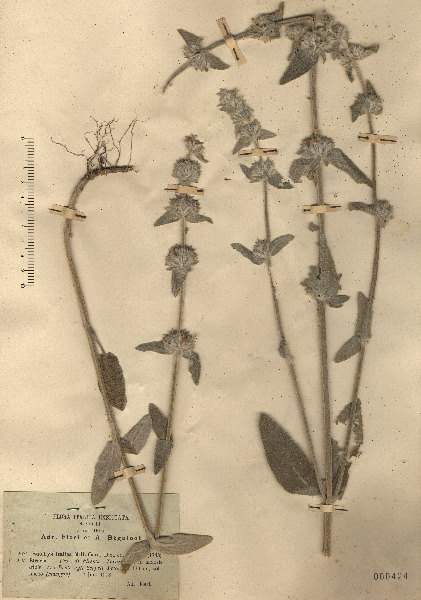 Stachys italica Mill.