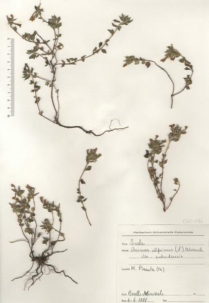 Ziziphora granatensis (Boiss. & Reut.) Melnikov subsp. subsp. granatensis